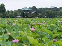 東京都 上野公園 不忍池 蓮の花と不忍弁天堂