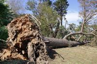 静岡県 島田市 台風で倒れた木