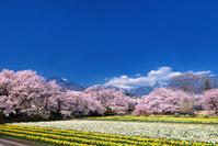 山梨県 実相寺の桜とスイセン