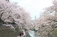 横浜大岡川の桜まつり