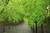 京都府 光明寺 新緑のもみじ参道と薬医門