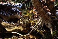 春を迎えるブナの根