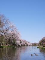千葉県 市川市 じゅんさい池の桜