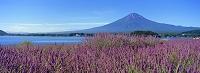 山梨県 河口湖畔のラベンダーと富士山