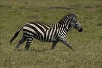 ケニア グラントシマウマ