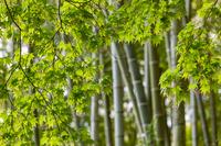 京都府 京都市 竹と青紅葉