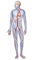 人体の血液と循環