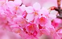 サクラ 河津桜 花と蕾