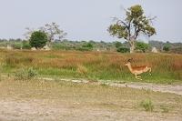 ボツワナ モレミ野生動物保護区 インパラ