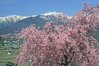 長野県 紅枝垂れ桜と爺ヶ岳中央の山