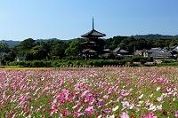 奈良県 斑鳩町 コスモスと法起寺
