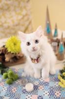 ミヌエット 子猫