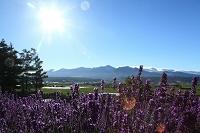 北海道 ラベンダー畑