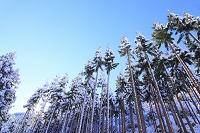 京都府 周山街道 雪景色の北山杉と青空