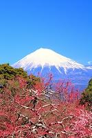 静岡県 富士市 岩本山公園 紅梅と雪化粧の富士山