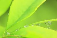宮城県 ナンテンの若葉と水滴