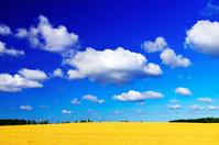 北海道 広大な小麦畑の丘と雲浮かぶ夏空