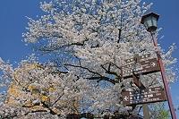 岐阜県 高山市の案内板と桜