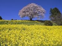 佐賀県 菜の花と馬場の山桜