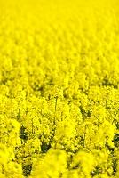 青森県 一面の菜の花