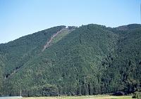 植林されたスギ 8月 高知県 窪川町