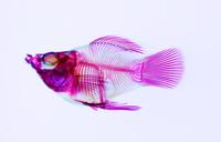 バルーンモーリー オス 透明骨格標本