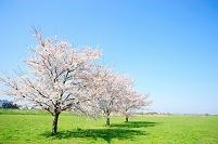 東京都 河川敷と満開の桜の木