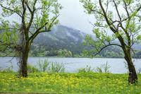 滋賀県 サワオグルマ群生と小雨に煙る余呉湖