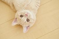横たわるマンチカンの子猫