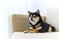 ソファで寛ぐ柴犬