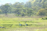 北海道 湖沼で丹頂鶴の子育て