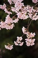 高遠城址公園 高遠小彼岸桜