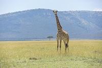ケニア マサイキリン