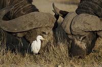 ケニア マサイマラ国立保護区 アフリカスイギュウと鳥