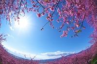 神奈川県 河津桜と太陽