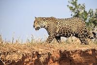 ジャガー ブラジル