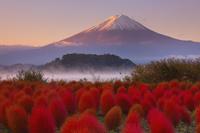 山梨県 大石公園 紅葉したコキアと朝日に染まる富士山