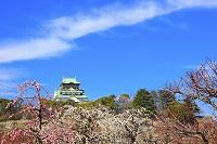 大阪府 大阪城公園 梅林の紅白梅と天守閣