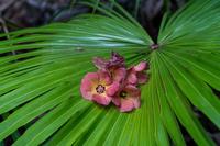 父島 オガサワラビロウの葉に落ちたオオハマボウの花