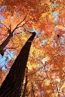 北海道  ナラの木紅葉
