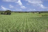 沖縄県 南大東村 さとうきび畑