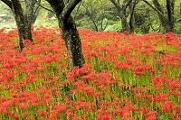 愛媛県 松山市 一面に咲くヒガンバナ