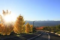 山梨県 笛吹川フルーツ公園 朝の富士山と銀杏並木