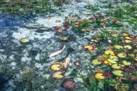 岐阜県 モネの池とコイ