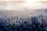 熊本県 阿蘇外輪山の草原の朝霧とチカラシバ群落