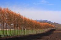 北海道 唐松と畑
