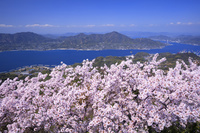 愛媛県 積善山の三千本桜
