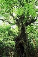 鹿児島県 屋久島の宮之浦登山道の巨樹