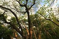 東京都 小笠原 父島 小港海岸 海岸林(モモタマナの木)
