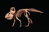 プロトケラトプスの復元骨格
